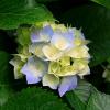 LP Rose